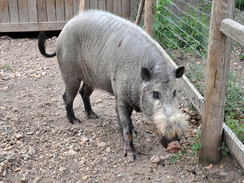 photo Bearded pig / <span class='cursive'>Sus barbatus barbatus</span>