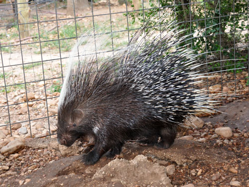 photo Crested porcupine / <span class='cursive'>Hystrix cristata</span>