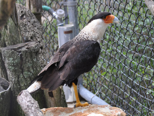 photo Crested caracara / <span class='cursive'>Caracara cheriway</span>