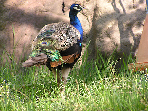 Common peafowl / Pavo cristatus
