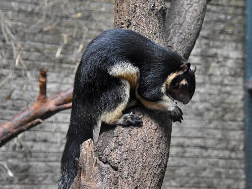 ratufa macroura grizzled indian squirrel in zoologischer garten leipzig. Black Bedroom Furniture Sets. Home Design Ideas