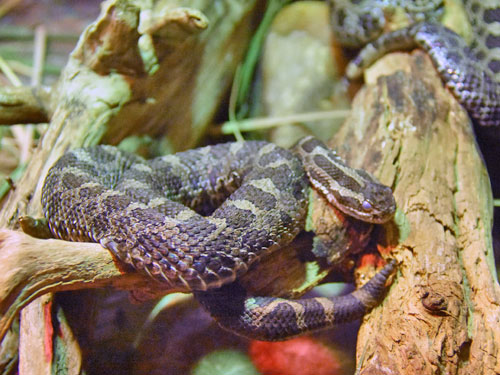 photo Eastern massasauga / <span class='cursive'>Sistrurus catenatus</span>
