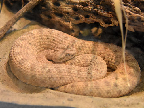 photo Colorado desert sidewinder / <span class='cursive'>Crotalus cerastes laterorepens</span>