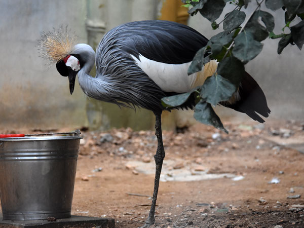 photo East African crowned crane / <span class='cursive'>Balearica regulorum gibbericeps</span>