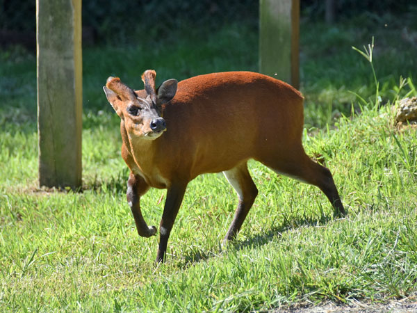 photo Indian muntjac / <span class='cursive'>Muntiacus muntjak</span>
