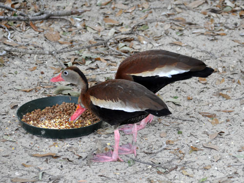 Northern black-bellied whistling duck