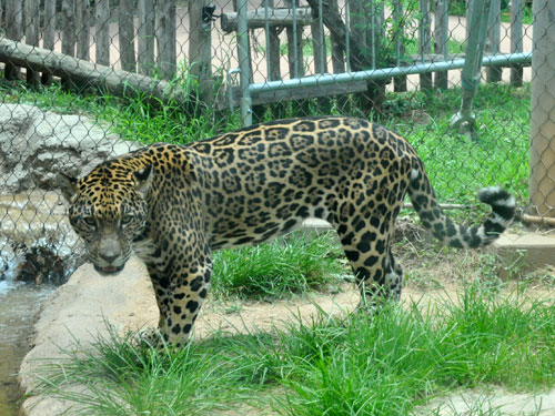 Goldman's jaguar