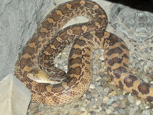 photo Bullsnake / <span class='cursive'>Pituophis catenifer sayi</span>
