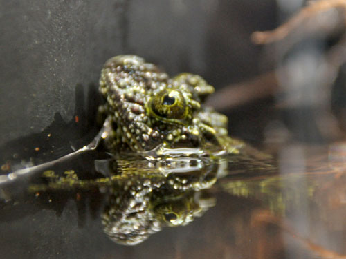 photo Tonkin bug-eyed frog / <span class='cursive'>Theloderma corticale</span>