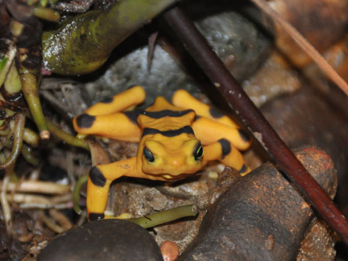 photo Atelopus zeteki / Panamanian golden frog