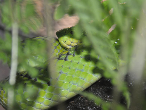 Yellow-blotched palm pitviper