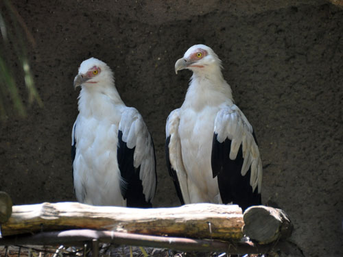 photo Palm-nut vulture / <span class='cursive'>Gypohierax angolensis</span>