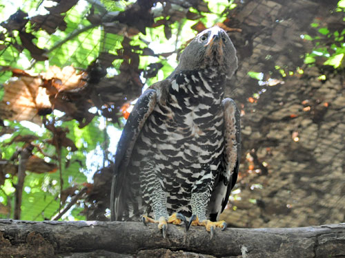 photo Stephanoaetus coronatus / African crowned eagle