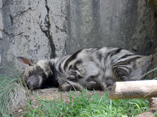 Striped hyaena