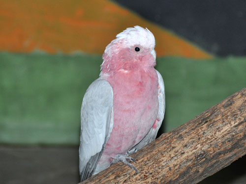 photo Galah / <span class='cursive'>Eolophus roseicapilla</span>