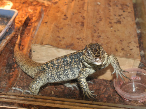 photo Tegu lizard / <span class='cursive'>Tupinambis teguixin</span>