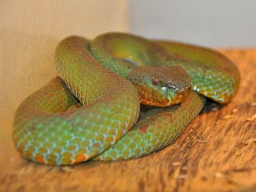 photo Philippine pitviper / <span class='cursive'>Parias flavomaculatus</span>