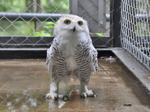 photo Snowy owl / <span class='cursive'>Bubo scandiaca</span>
