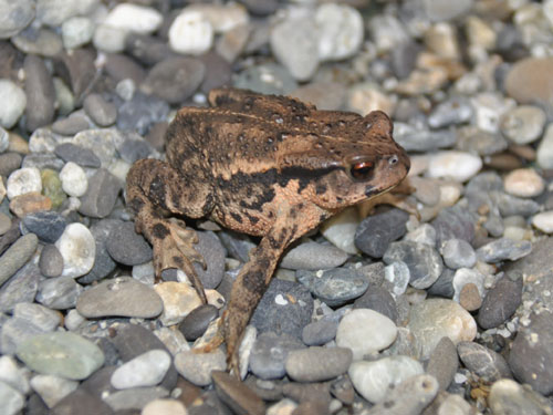 Asiatic toad