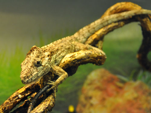 photo Western bearded anole / <span class='cursive'>Anolis barbatus</span>