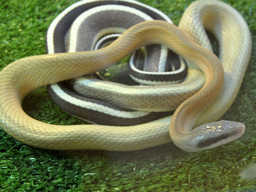 Black-tailed ratsnake