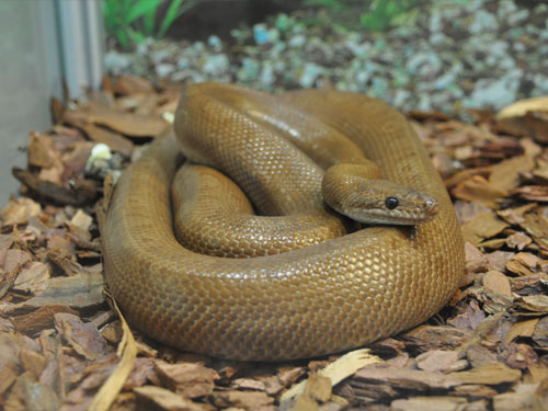 photo Brown rainbow boa / <span class='cursive'>Epicrates maurus</span>