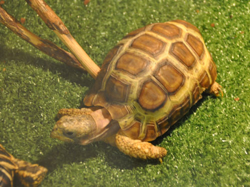 photo Bell's hingeback tortoise / <span class='cursive'>Kinixys belliana</span>