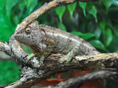 photo Oustalet's chameleon / <span class='cursive'>Furcifer oustaleti</span>
