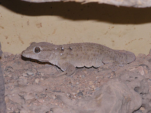 White-spotted gecko