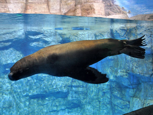 photo Steller's northern sealion / <span class='cursive'>Eumetopias jubatus</span>