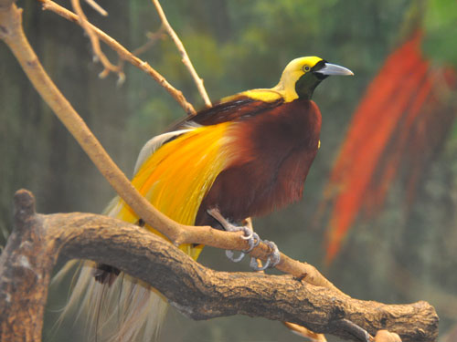 photo Lesser bird-of-paradise / <span class='cursive'>Paradisaea minor</span>