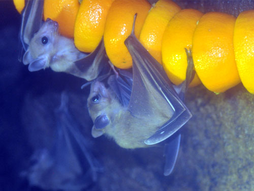 photo Straw-coloured fruit bat / <span class='cursive'>Eidolon helvum</span>