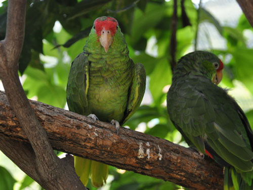 photo Green-cheeked amazon / <span class='cursive'>Amazona viridigenalis</span>