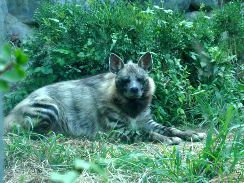 photo Striped hyaena / <span class='cursive'>Hyaena hyaena</span>