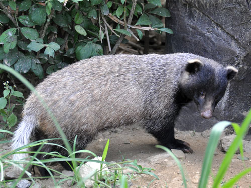 Amur badger