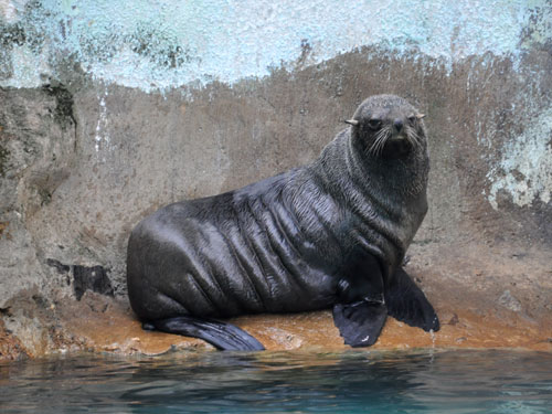 photo Northern fur seal / <span class='cursive'>Callorhinus ursinus</span>