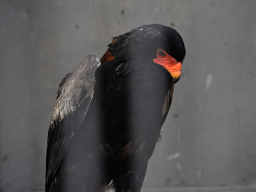photo Terathopius ecaudatus / Bateleur eagle