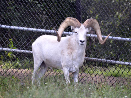 photo Dall's sheep / <span class='cursive'>Ovis dalli dalli</span>