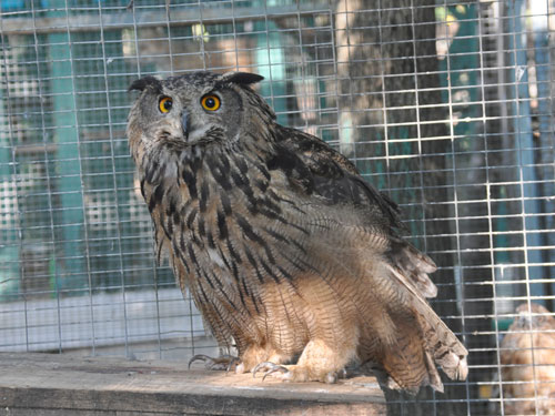 photo Eurasian eagle owl / <span class='cursive'>Bubo bubo ussuriensis</span>