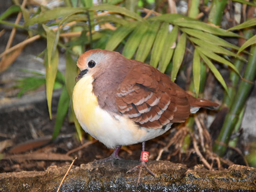 photo Red-throated ground dove / <span class='cursive'>Gallicolumba rufigula</span>