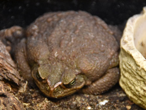 photo Rhinella marina / Giant marine toad