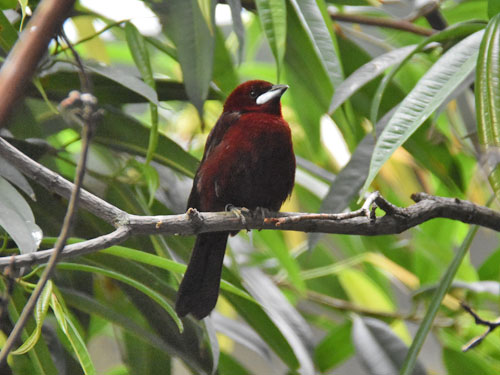 photo Silver-beaked tanager / <span class='cursive'>Ramphocelus carbo</span>
