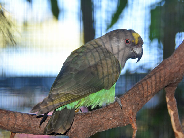 photo Meyer's parrot / <span class='cursive'>Poicephalus meyeri</span>