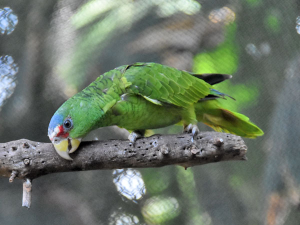 Lesser white-fronted amazon