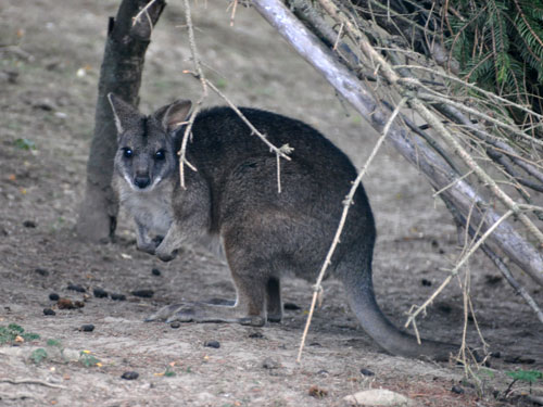photo Macropus parma / White-fronted wallaby