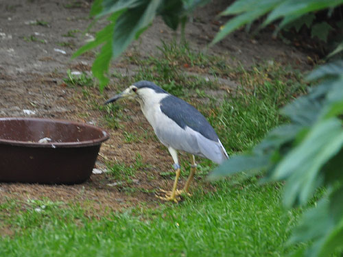 photo Black-crowned night heron / <span class='cursive'>Nycticorax nycticorax</span>
