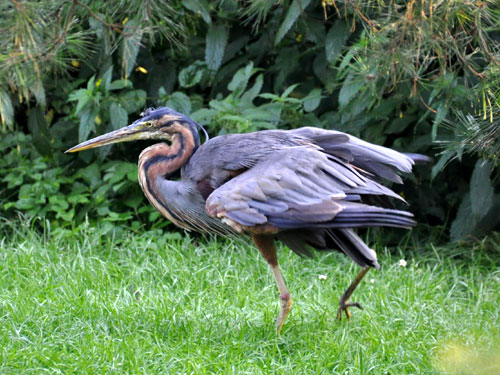 photo Purple heron / <span class='cursive'>Ardea purpurea</span>