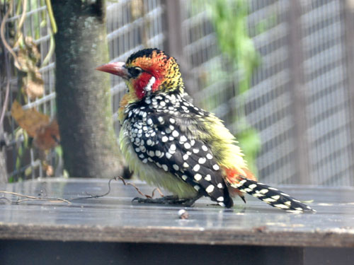 Red-and-yellow barbet