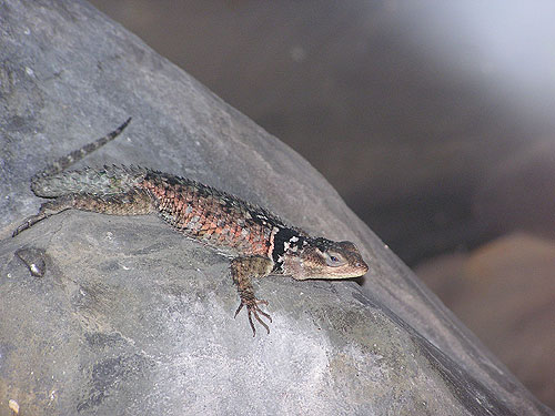 Crevice spiny lizard