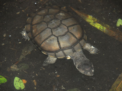 African helmeted turtle